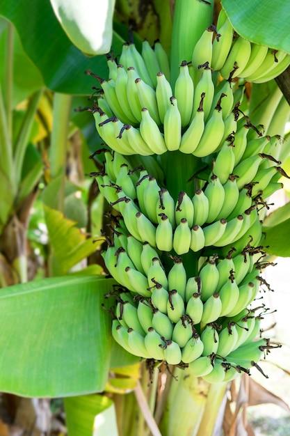 木の上のバナナ果実と鮮やかな美しい緑。 Premium写真