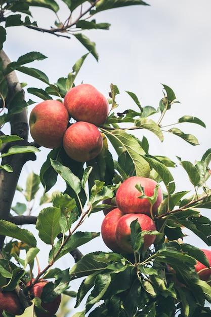熟した赤いリンゴでいっぱいの庭 Premium写真