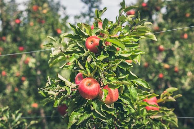 Яблоневый сад, полный красных фруктов Premium Фотографии