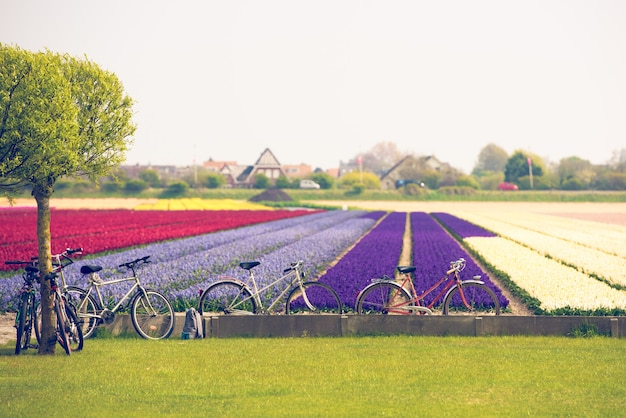 Разноцветные тюльпаны в нидерландах Premium Фотографии