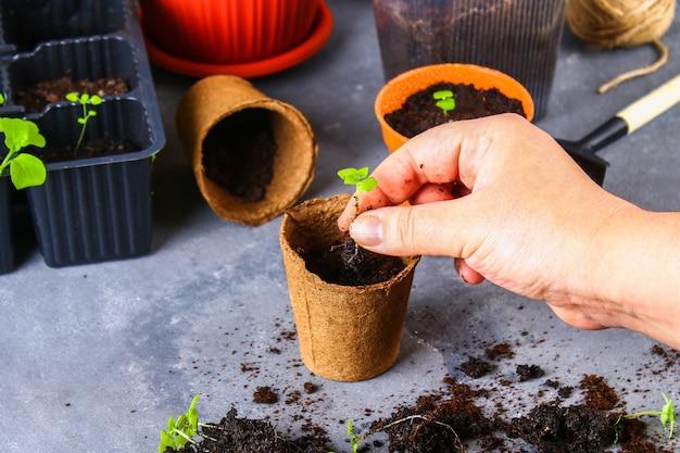 移植、植栽、灰色のコンクリート背景に苗を振りかけます。 Premium写真