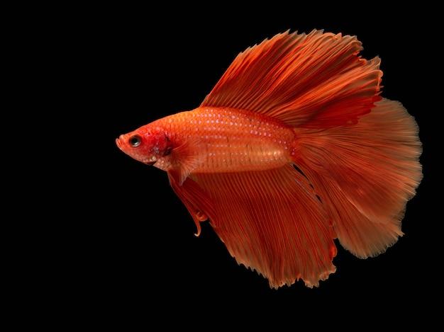 Красная боевая рыба, бетта рыбы на черном Premium Фотографии