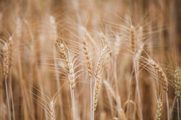 Закройте вверх золотых зрелых заводов ячменя в поле ячменя Premium Фотографии