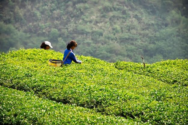 女の子は丘の中に茶葉を集めています Premium写真