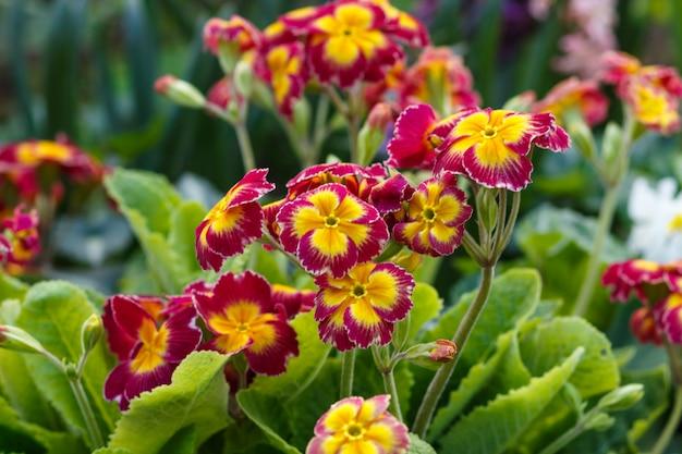 春の庭のプリムローズまたはプリムラ Premium写真