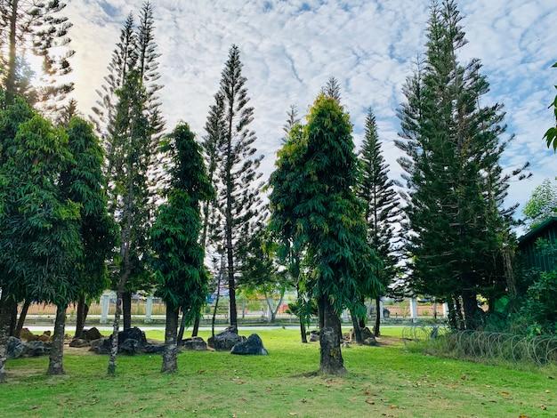 公園の松の木 Premium写真