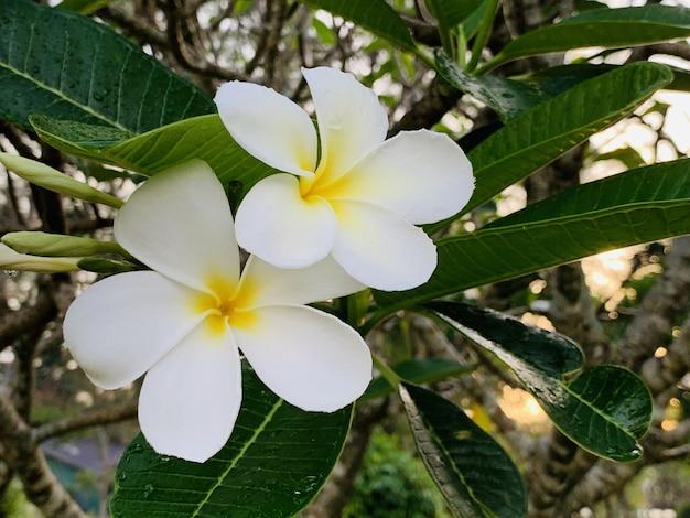 朝にプルメリアの花が咲きます Premium写真