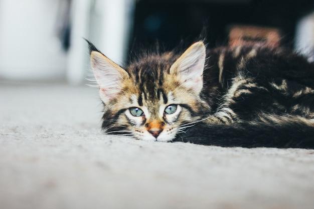 床に横たわって、カメラ目線の小さな灰色の縞模様の子猫 Premium写真