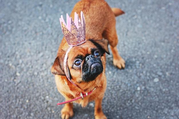 かわいいプリンセス犬小さなブラバンソンピンクの光沢のある王冠のグレーのバ Premium写真