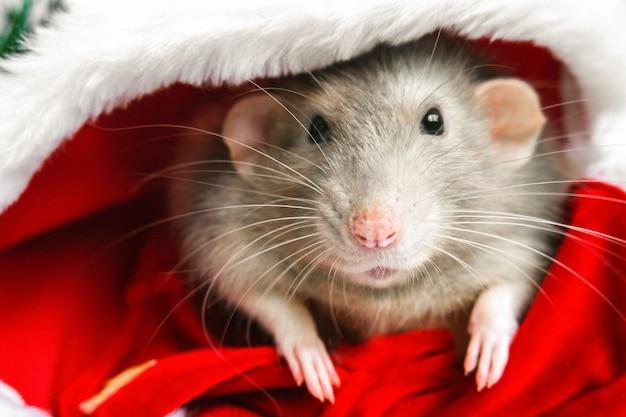 赤いサンタクロースの帽子のクリスマスラット Premium写真