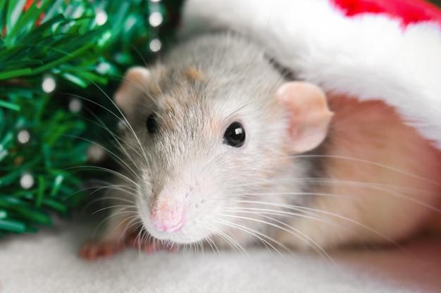 カメラ目線の赤いサンタクロースの帽子のクリスマスラット。年賀状マウス。 Premium写真