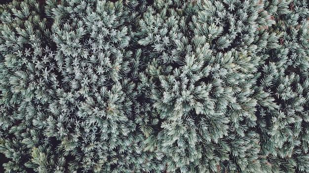 クリスマスツリーの枝の背景。 Premium写真