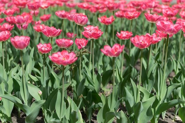 Розовые тюльпаны Premium Фотографии
