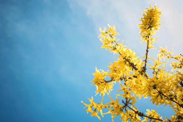 黄色の咲くレンギョウの花、青い空 Premium写真
