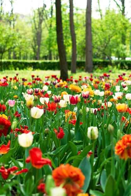 Тюльпаны весной крупным планом Premium Фотографии