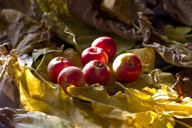 黄色い葉に黄色と赤の秋のリンゴ Premium写真