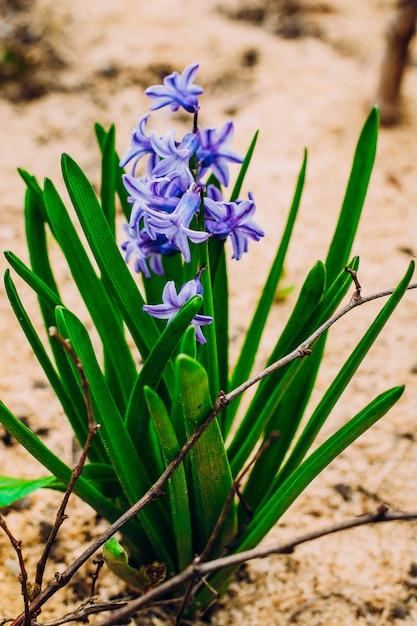 春の紫色の花は庭のヒヤシンスです。 Premium写真