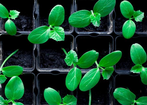 きゅうり、黒い鍋の小さな芽、緑の若い植物の苗 Premium写真