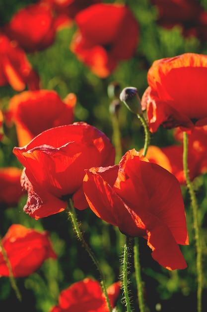赤いケシ畑 Premium写真