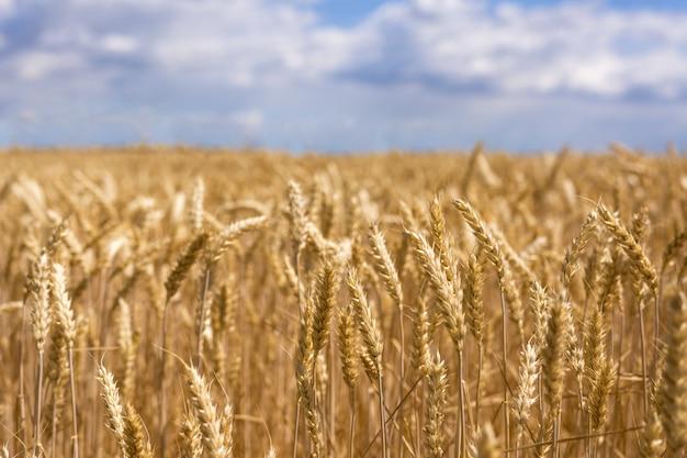 Спелые колосья пшеницы. новый урожай в поле. Premium Фотографии