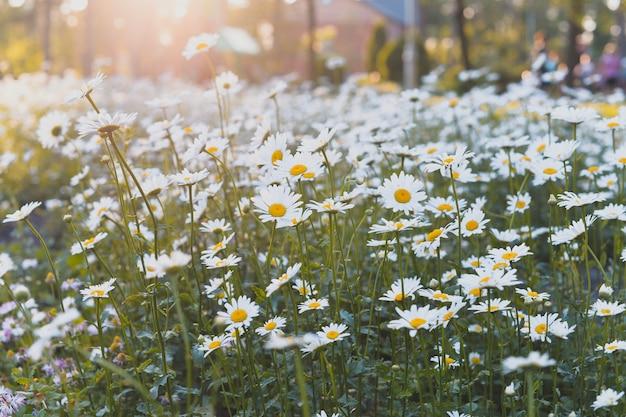 夏と春のデイジーの花を持つフィールド Premium写真