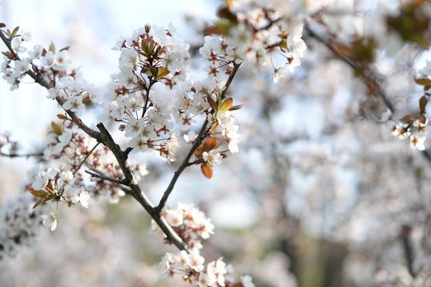 自然の庭でリンゴの杏の木の花 Premium写真