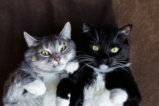 Две кошки вместе серый и черный и белый Premium Фотографии