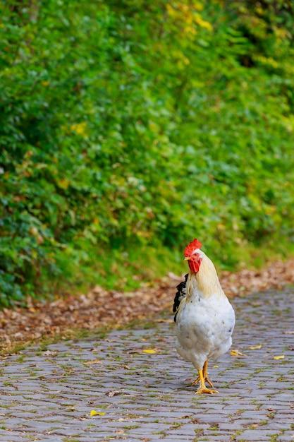 道を渡って彼の道を作っている農場オンドリ。 Premium写真