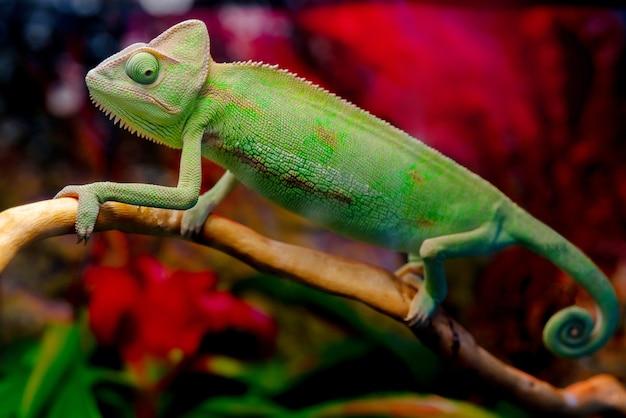 Зеленый хамелеон на ветке. Premium Фотографии