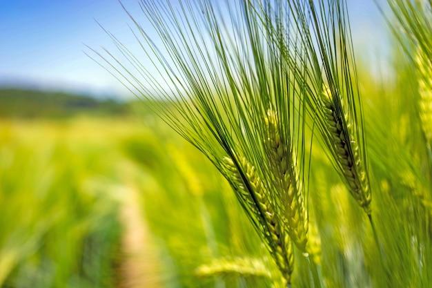 フィールドでの緑の醸造大麦の穂。 Premium写真