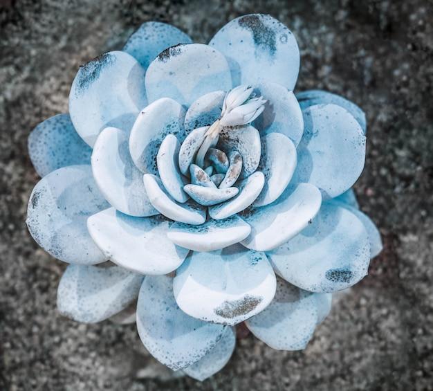 多肉植物のカラフルな天然ロゼットパターンの抽象的なクローズアップ Premium写真