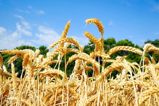 青い空を背景の黄金の耳を持つ麦畑。 Premium写真