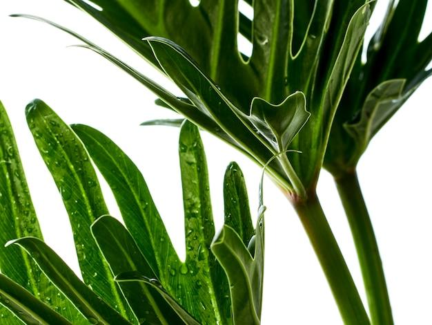 Акварель тропический филодендрон ксанаду лист Premium Фотографии
