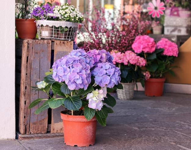 販売のための美しい咲くピンクと紫色のアジサイの花が付いている鍋 Premium写真