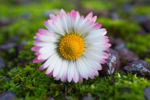 白いデイジーの花植物 Premium写真