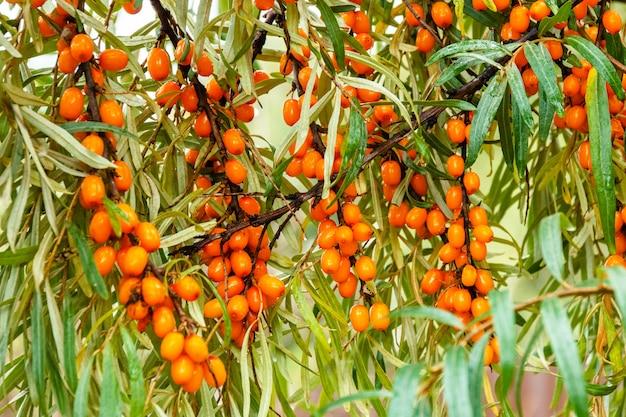 オレンジ・シー・バースソーン・ベリーの枝 Premium写真