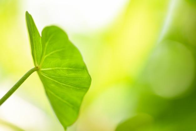 巨大なサトイモの葉のキク科 - 熱帯植物の緑の植物水雑草 Premium写真
