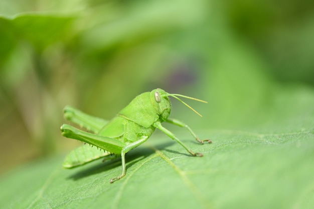 草原のバッタ - 自然マクロ撮影で葉の上の緑のバッタ Premium写真