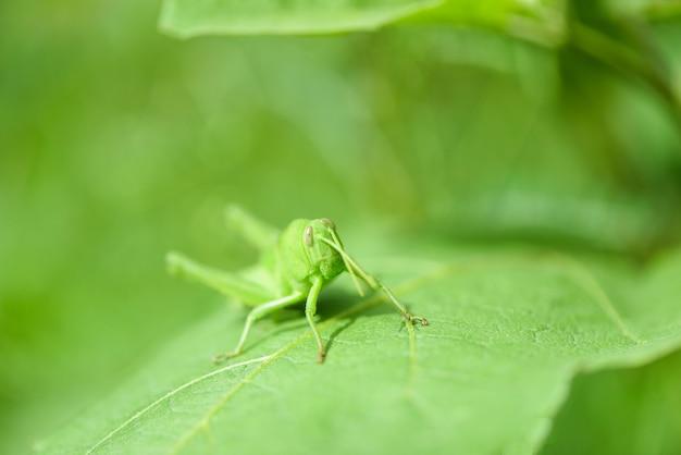 草原バッタ、自然マクロ撮影で葉の上の緑のバッタ Premium写真