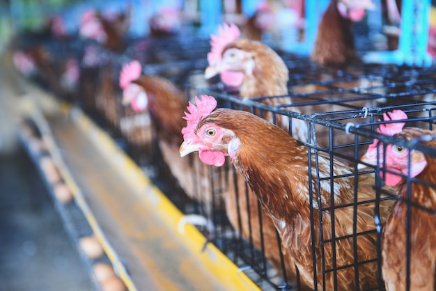 新鮮な卵の鶏と屋内鶏農産物のケージ農業の鶏 Premium写真