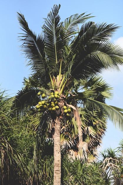 ココナッツ椰子の木とトロピカルガーデンのココナッツの果実 Premium写真