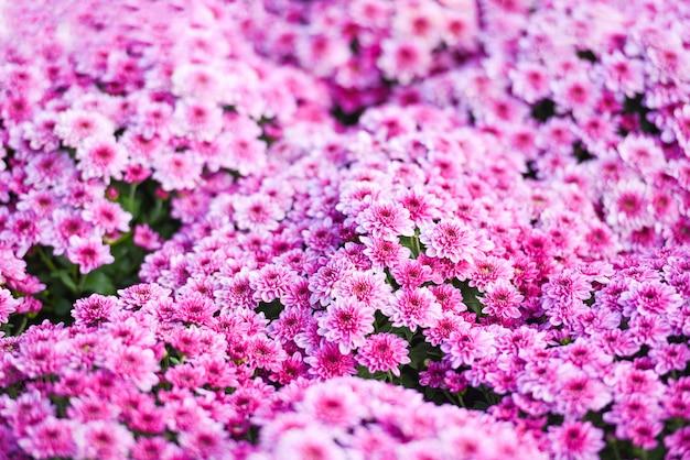 Крупным планом букет цветов розовая хризантема фиолетовый красивая текстура фон / хризантема цветы цветущие украшения праздник празднование Premium Фотографии