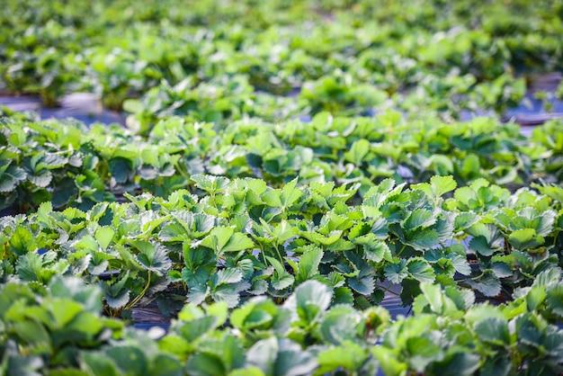 庭の緑の葉とイチゴ畑-農場農業で成長している植物の木イチゴ Premium写真
