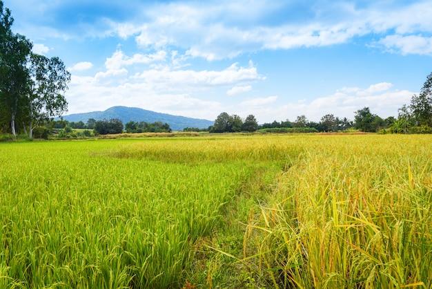 青い空と山を背景に風景緑の田んぼ-黄金の黄色と緑の水田農業 Premium写真