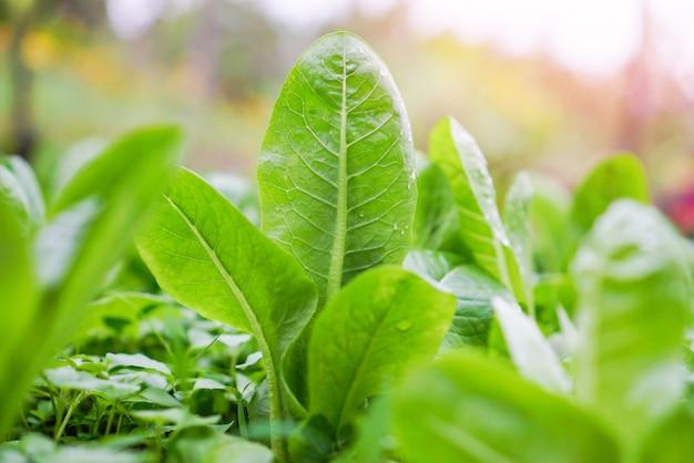庭の野菜農場の水耕システムで成長している新鮮なグリーンコスレタスサラダ-朝の緑のプランテーション Premium写真
