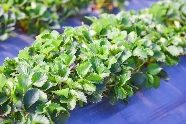 Клубничное поле с зеленым листом в саду - посадить дерево клубники, растущее в сельском хозяйстве Premium Фотографии