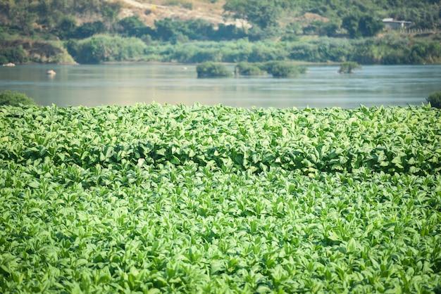 Табачные листья растений, растущих в сельском хозяйстве фермы в азии с реки и горы фон - молодые зеленые листья табака плантации на фоне поля табака Premium Фотографии