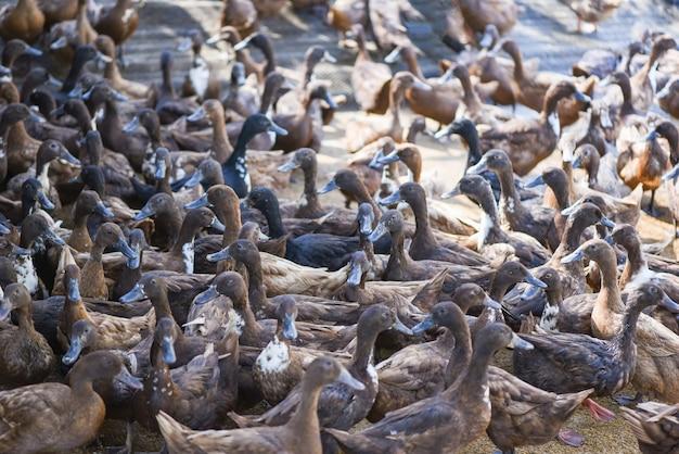 Много утки на местной ферме для производства утиных яиц - ферма бурых уток Premium Фотографии