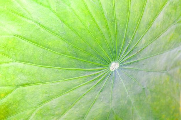 緑の蓮の葉や池の睡蓮の葉のテクスチャ背景のクローズアップ Premium写真