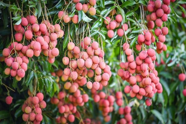 Свежие спелые плоды личи висят на дереве личи в саду Premium Фотографии